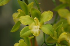 Yellow and Green Orchids Blooming in a Garden Stock Image
