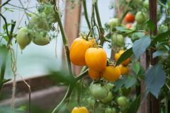 Yellow and green organic tomatoes royalty free stock photos
