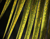 Yellow green palm leaves texture background. Diagonal yellow green palm leaves forming a graphics texture design against a natural dark background Royalty Free Stock Photos
