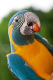 Yellow and Green Parrot. With a grape in between it's beak Royalty Free Stock Photography