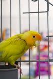 Yellow and green parrot Stock Photos