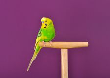 Yellow-green parrot perched on a stand Royalty Free Stock Photo