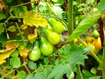 Yellow and green pear tomatoes Stock Photo