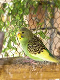 Yellow and green pied fledgling Stock Photography
