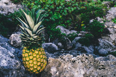 Yellow and Green Pineapple on Top of Rock Formation Stock Photos