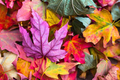Yellow Green Pink Purple Leaves Stock Images
