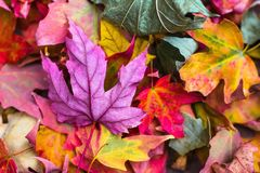 Yellow Green Pink Purple Leaves Royalty Free Stock Image