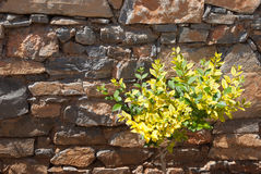 Yellow-Green Plant. In front of stone wall Stock Image