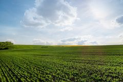 Yellow rapeseed field under blue sky. Yellow green rapeseed field under blue sky Royalty Free Stock Image