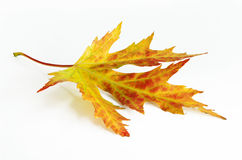 Yellow-green-red autumn leaf Stock Photography