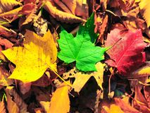 Yellow,green and red maple trees leaves. On the fallen leaves in the autumn in new england Connecticut United States royalty free stock image