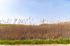Yellow and green reed grass along motorway in the Crimea, Ukraine Stock Photos