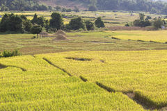 Yellow and green rice field Royalty Free Stock Photo