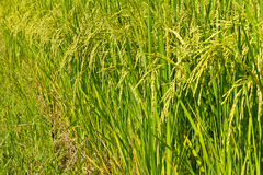 Yellow-green rice. Paddy with many beautiful, soon to be harvested Stock Photography