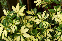 Yellow and green schefflera  plant in outdoor garden. Close up of a variegated green and yellow dwarf umbrella plant, also known as schefflera, in outside garden Royalty Free Stock Images