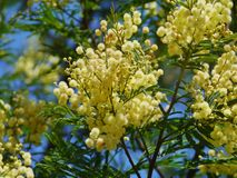 Yellow green and some blue. A flowering yellow mimosa in spring in Australia stock photo