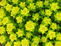 Yellow green spurge. Background of yellow green spurge royalty free stock photo