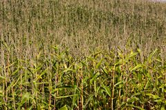 Yellow-green stalks of corn royalty free stock image
