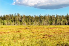 Yellow-green swamp in Finland Royalty Free Stock Photos