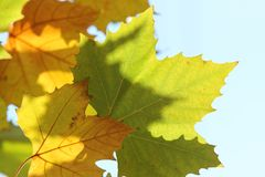 Yellow green sycamore leaves in autumn on blue sky background. Yellow green sycamore leaves in autumn in the sunlight on blue sky backgroun royalty free stock photography