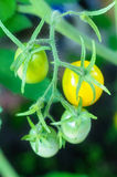 Yellow and green tomatoes on tomato plant. Yellow and green tomatoes on twigs tomato plant Royalty Free Stock Photography