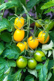 Yellow and green tomatoes on tomato plant. Yellow and green tomatoes on twigs tomato plant, macro royalty free stock image