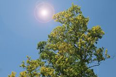 YELLOW AND GREEN TREE WITH ADDED LENS FLARE. View of bright lens flare added to tree with bright green foliage against a blue sky stock images