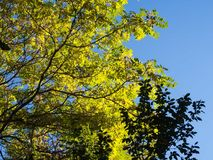 Yellow-Green Tree on Blue Background Royalty Free Stock Photography