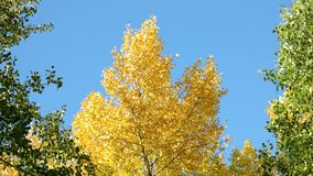 Yellow and green trees against blue sky background. Autumn tree with golden leaves stock video