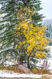 Yellow and green trees meet. On an overcast day, Kananaskis, Country, Alberta, Canada Royalty Free Stock Photo