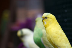 Yellow-green wavy parrots sit on a branch. Royalty Free Stock Photography