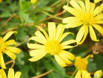 Yellow and green. The yellow flowers Stock Photography