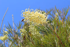 Yellow Grevillea Flowers with a Bee Royalty Free Stock Photography