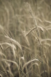 Yellow and grey wheat Stock Images