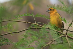 Yellow grosbeak Royalty Free Stock Photo