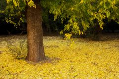 Yellow Ground. Early morning in the autumn month of november with yellow leaves covering the ground Stock Photography