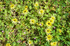 Yellow Ground Flowers Royalty Free Stock Images