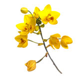 Yellow ground orchids flower isolated on white Stock Image