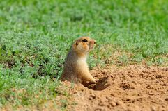 The yellow ground squirrel Spermophilus fulvus gets out of the hole. The yellow ground squirrel Spermophilus fulvus gets out of the hole on a background of royalty free stock photo