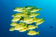 Yellow grouper sweetlips school of fish underwater Royalty Free Stock Image