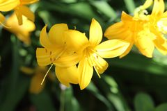 Yellow grouping of Day lilies Stock Photo