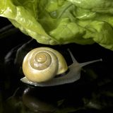 Yellow Grove snail and salad Stock Images