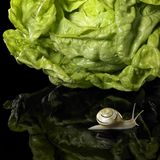 Yellow Grove snail and salad Stock Photo