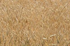 Yellow grown wheat background Royalty Free Stock Photo