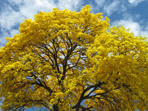 Yellow Guayacan Tree Royalty Free Stock Photography