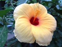 Yellow hibiscus flower Royalty Free Stock Image