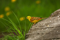 Yellow Hammer. An image of a yellow hammer bird standing on a rock with a green background stock images