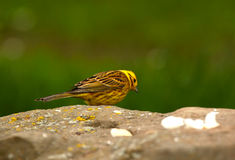 A Yellow Hammer Bird. An image of a yellow hammer bird standing on a rock with a green background royalty free stock photos