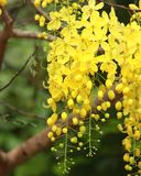 Yellow hanging tree blossom Stock Images