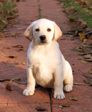 Yellow happy labrador puppy in autumn Royalty Free Stock Image